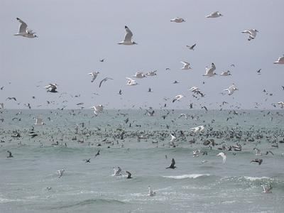 Aves en la costa de Perú